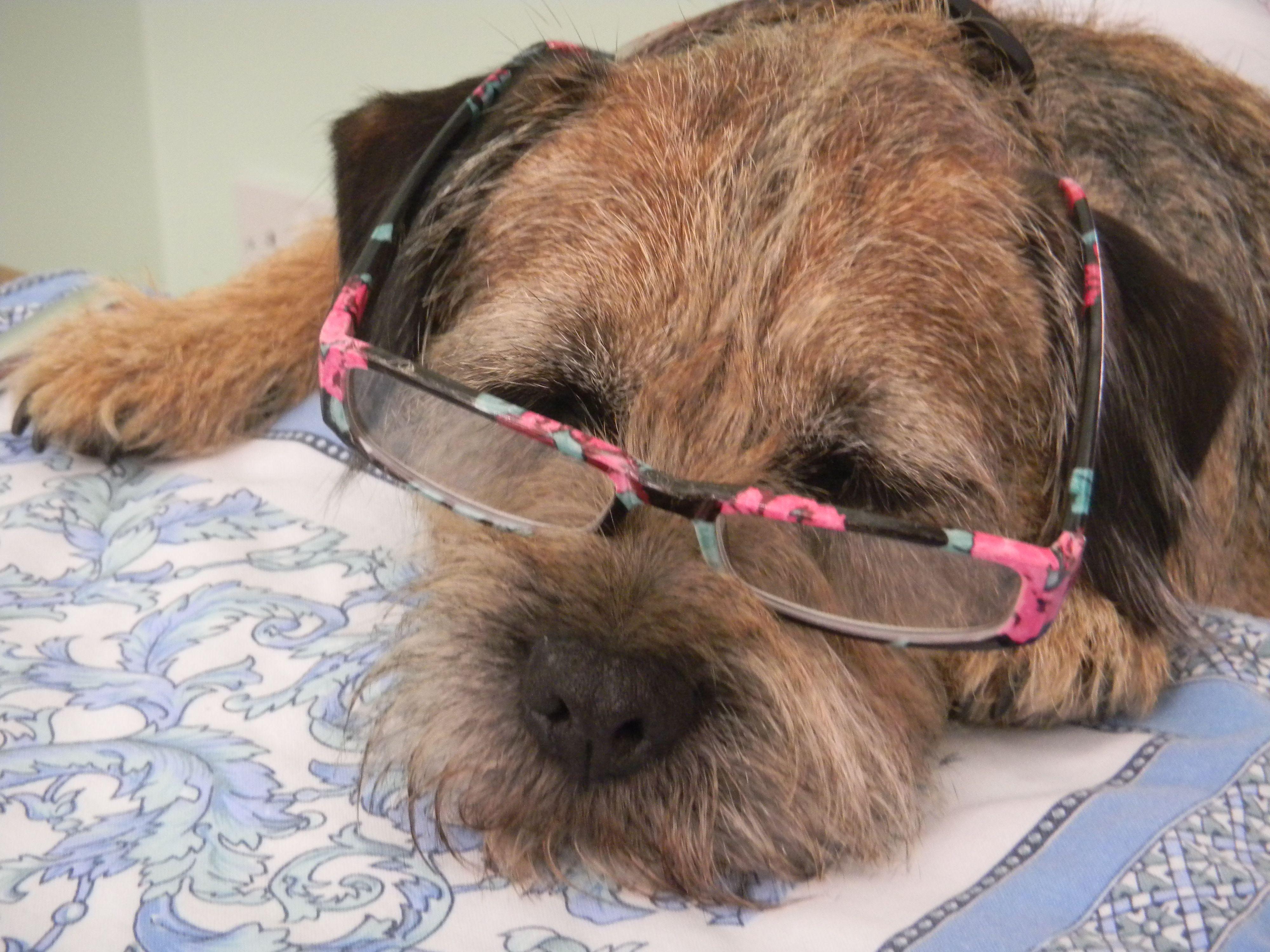 Intelligent Border Terreir Www Motherlylove Co Uk Border Terrier