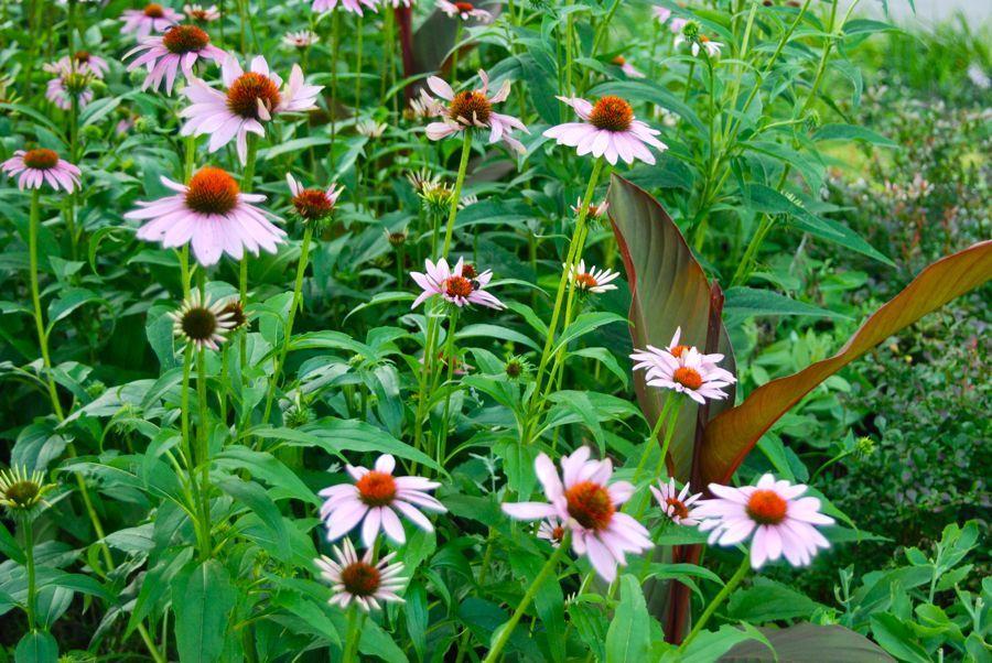 Echinacea purpurea and Canna  King Humbert'