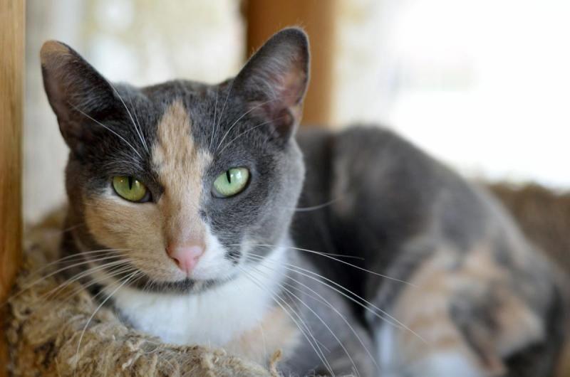 petdetail Petfinder Cats, Animals, Pets