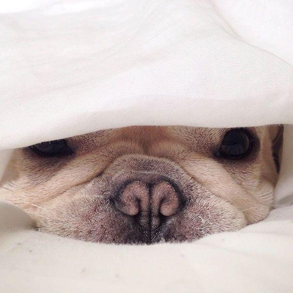 Meet Milo A Narcoleptic Bulldog Who Will Make You Say Awww