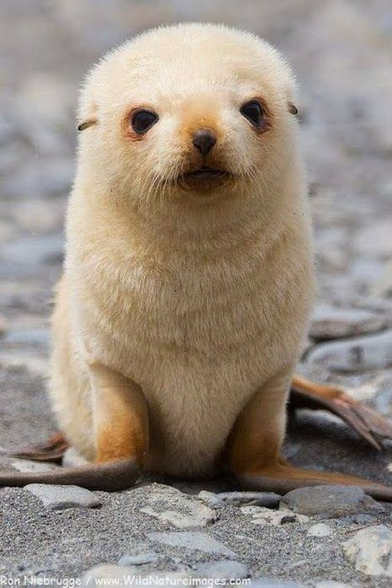 Blonde baby fur seal....what a cutie! Cute baby animals