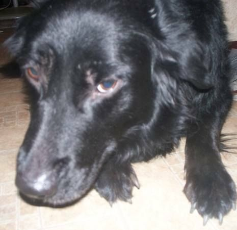Lost Black Female Dog Cimmaron Hills Http Cosprings Craigslist Org Laf 4071805983 Htmllost Black With A Little White On The Chest Female Dog Border Tiere