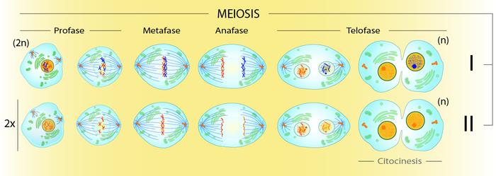 Meiosis Wikipedia La Enciclopedia Libre Ciclo Celular La Meiosis Mitosis