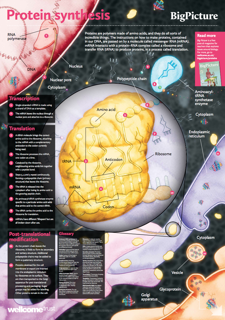 Protein Synthesis Poster Proteins Are Polymers Made Of Amino Acids And They Do All Sorts Of Incredible Thing Protein Synthesis Dna Synthesis Protein Biology [ 1076 x 759 Pixel ]