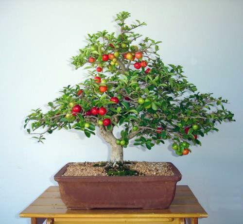 Bonsai clube rio preto bonsai shohin bonsai - Como cultivar bonsai ...