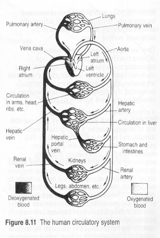 Circulatory System Diagram Worksheet Human Circulatory