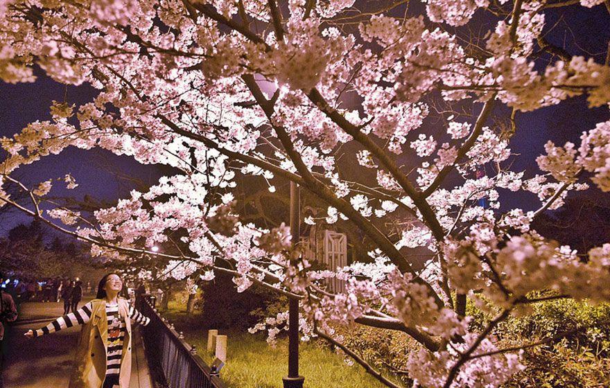 Cherry Blossom Cherry Blossom Cityscape Beautiful Views