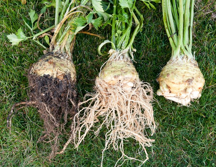 Winter Vegetable-Celery Root Recipes How to grow Celery Root?