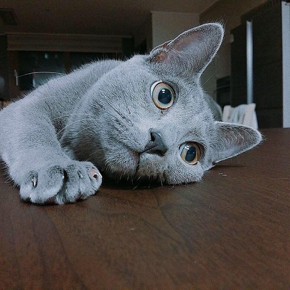 #RussianBlueCats#russianblue#russianbluecat#russianbluecatkittens#russianbluecatkittensbaby#russianbluecatkittensbeautiful#russianbluecatkittenskitty#russianbluecataesthetic#russianbluecatlonghair#russianbluecatphotography#russianbluecatphotographybeautiful#russianbluecatvideos#russianbluecatblueeyes#russianblueaesthetic#Cats#catsaesthetic#cutecatsaesthetic#funnycutecats#funnycats#cutecats#beautifulcats#beautifulcatsphotography#beautifulcatsphotographyawesome