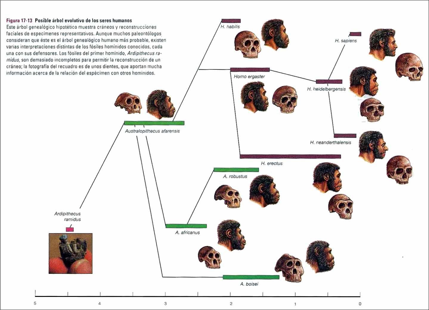 Arbol Genealogico Hominidos Buscar Con Google Hominidos Evolución Humana Evolucion
