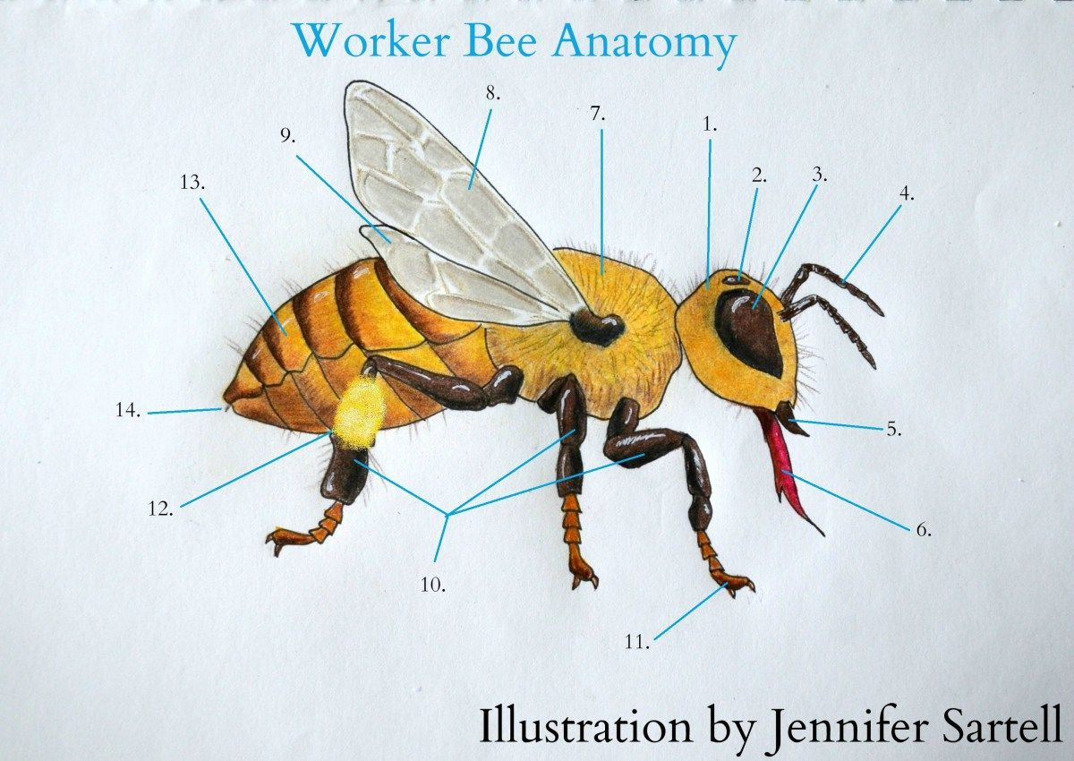 The Anatomy of a Worker Bee | gardening & growing | Pinterest