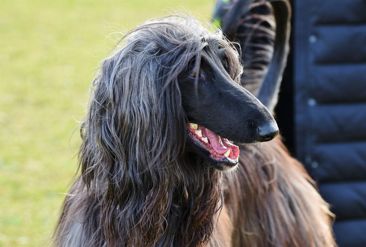 Best Dog Hair Grooming Clippers For An Afghan Hound Dog Clippers