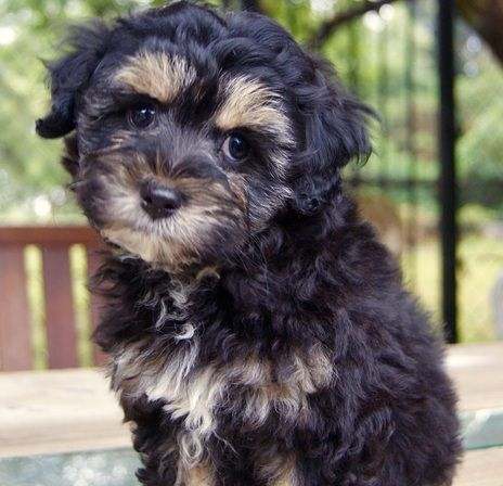 Shmoodle Maltese Shih Tzu Mix With Images Dogs Maltese Shih