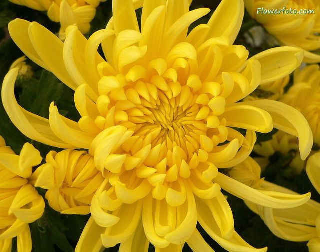 Native Japanese Flowers Chrysanthemum Flower Fairies Chrysanthemum Flowers Yellow Chrysanthemum Chrysanthemum Meaning Chrysanthemum Flower