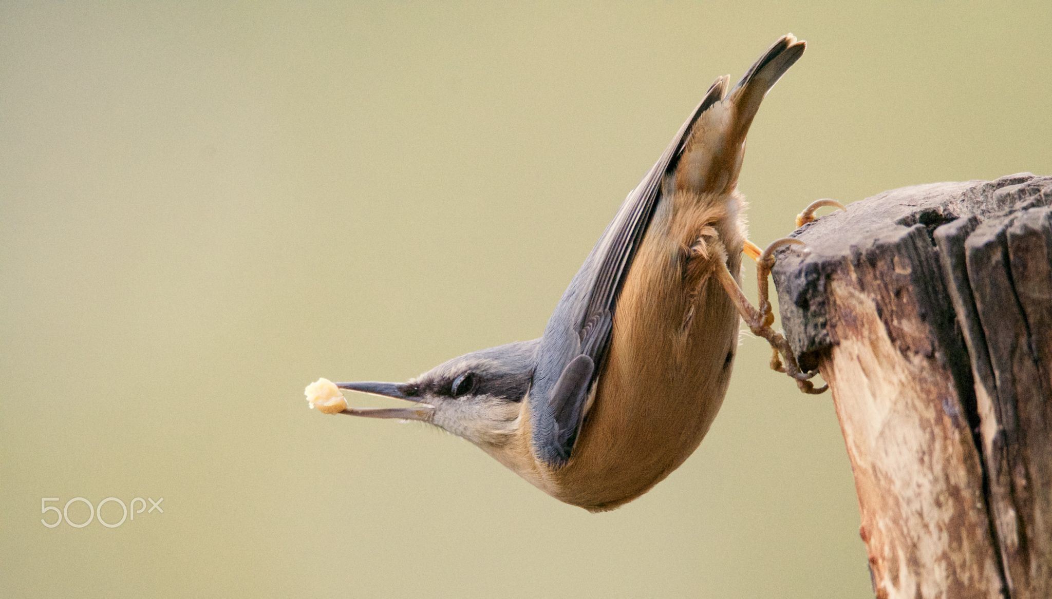 Bendy Nuthatch - null
