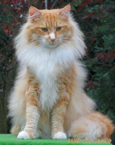 Teo S2 Norwegische Waldkatzen Of Nierott Castle Gallerie Teo Katzen Norwegische Waldkatze Susseste Haustiere