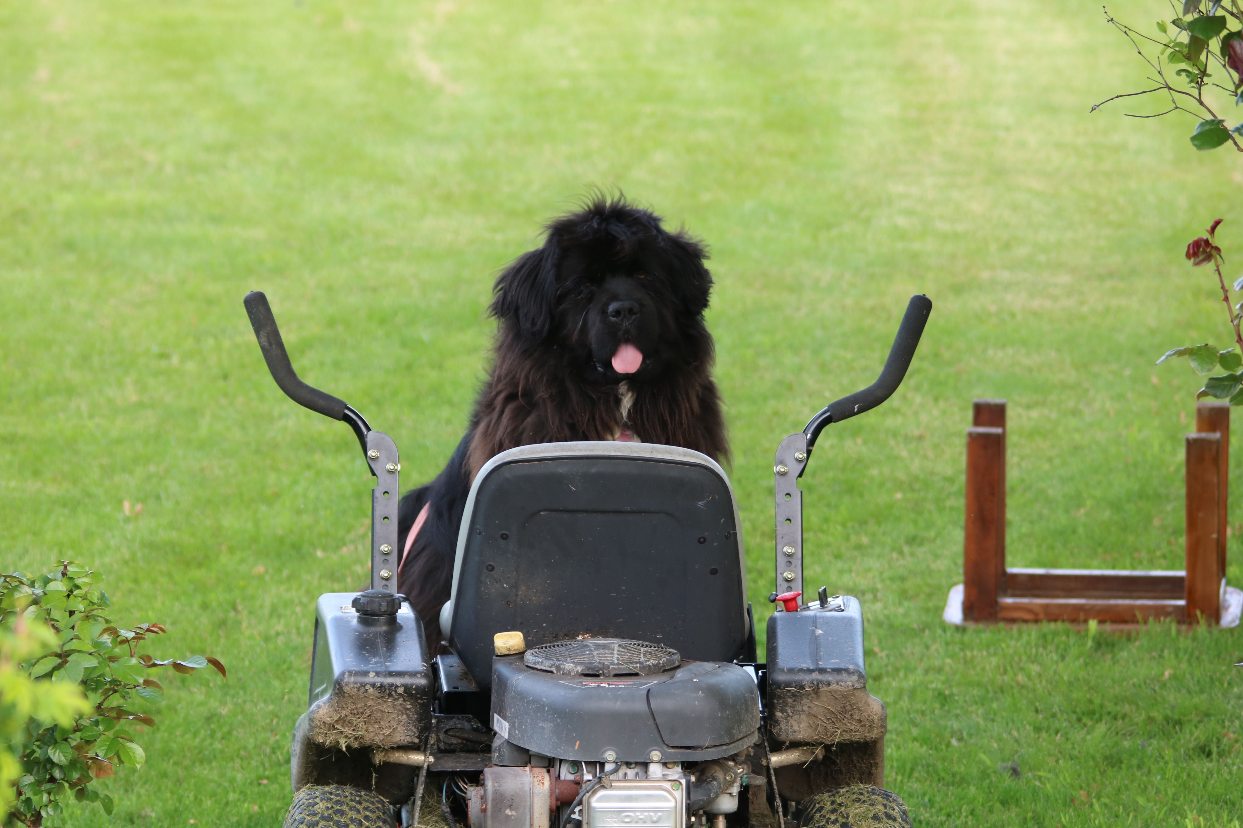 Muffin learning to cut the grass , doesn't have the steering yet