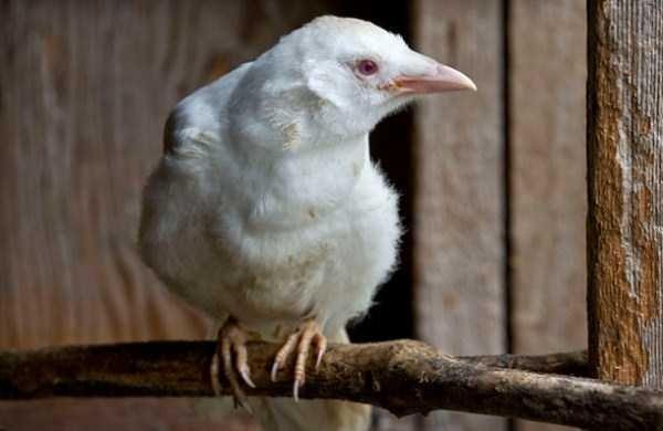 albino-animals (27)