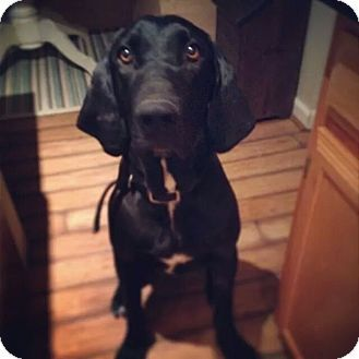 Denver Co Great Dane Black And Tan Coonhound Mix Meet Whiskey