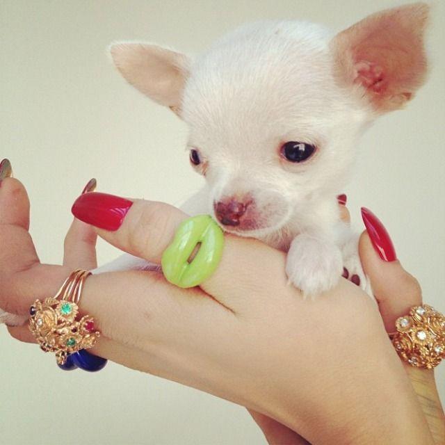 Solange Azagury Partridge Hot Lips Ring Instagram Photoshoot Chihuahua Love Cute Chihuahua Puppies
