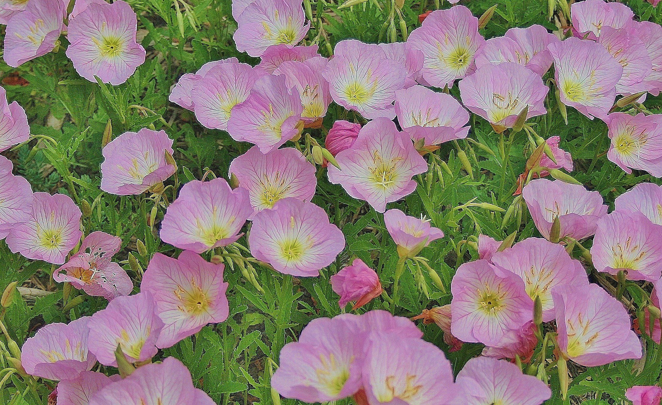 Drought Tolerant Ground Covers With Showy Flowers Drought Tolerant Perennials Drought Tolerant Trees Ground Cover