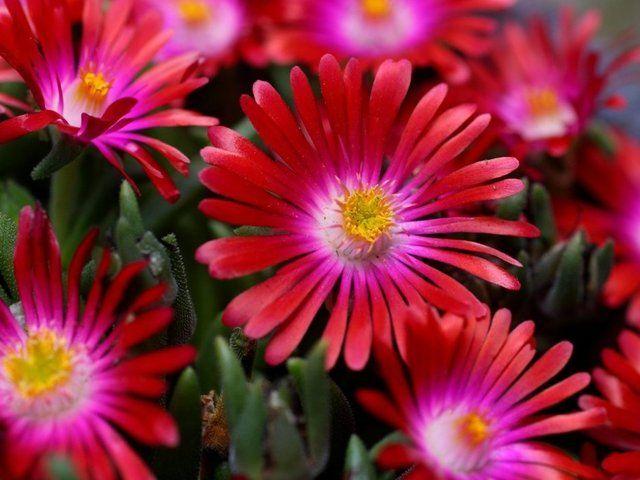 Pourpier D Ornement Pourpier A Grande Fleur Pourpier Vivace