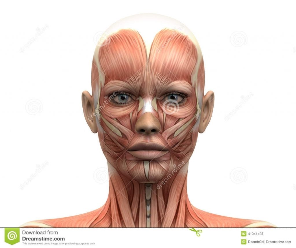 Human Face Muscle Anatomy Facial Muscles And Tendons Side View ...