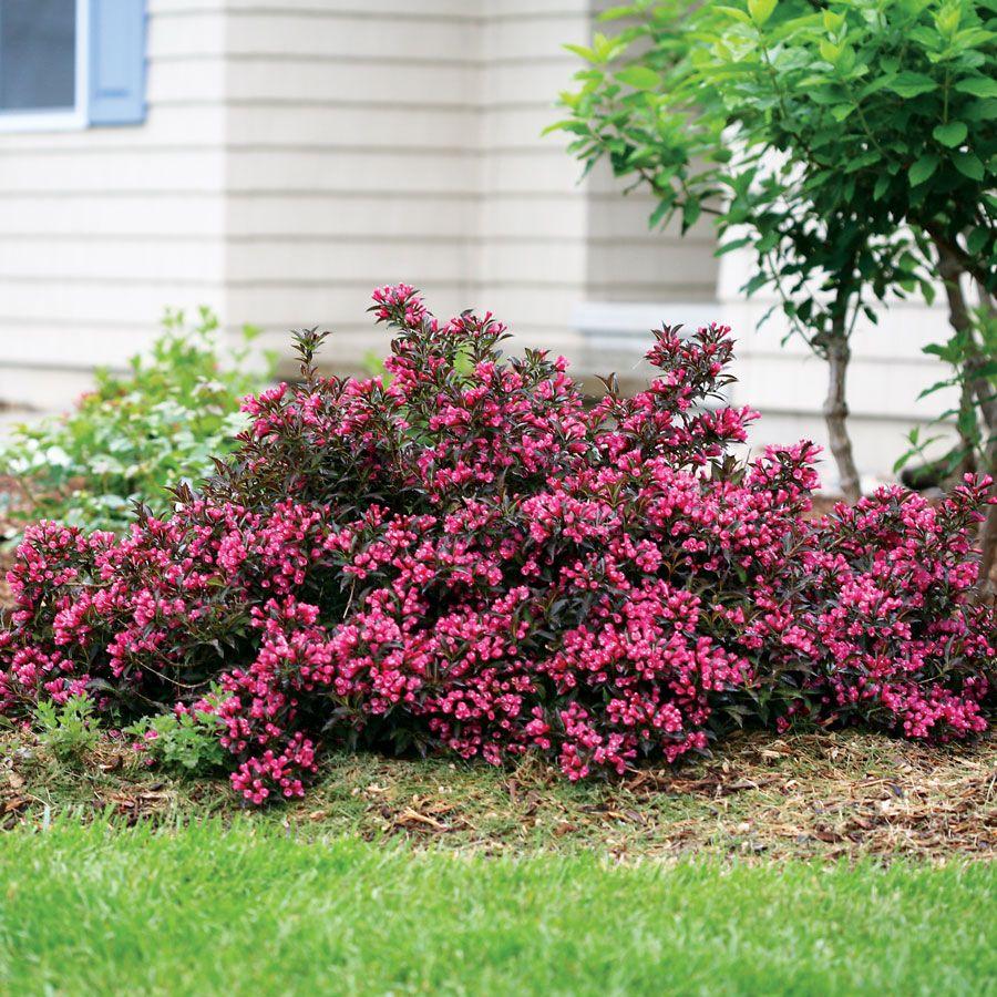 Weigela Sonic Bloom Pink Flowering Bushes Garden Shrubs Bushes And Shrubs
