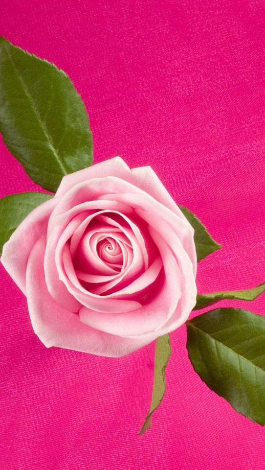 Pin By Julie Long On Valentine S Day Pink Rose Wallpaper Hd