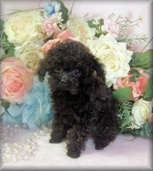 Miniature Tea Cup Poodles Puppies Sold Tea Cup Tiny Toy