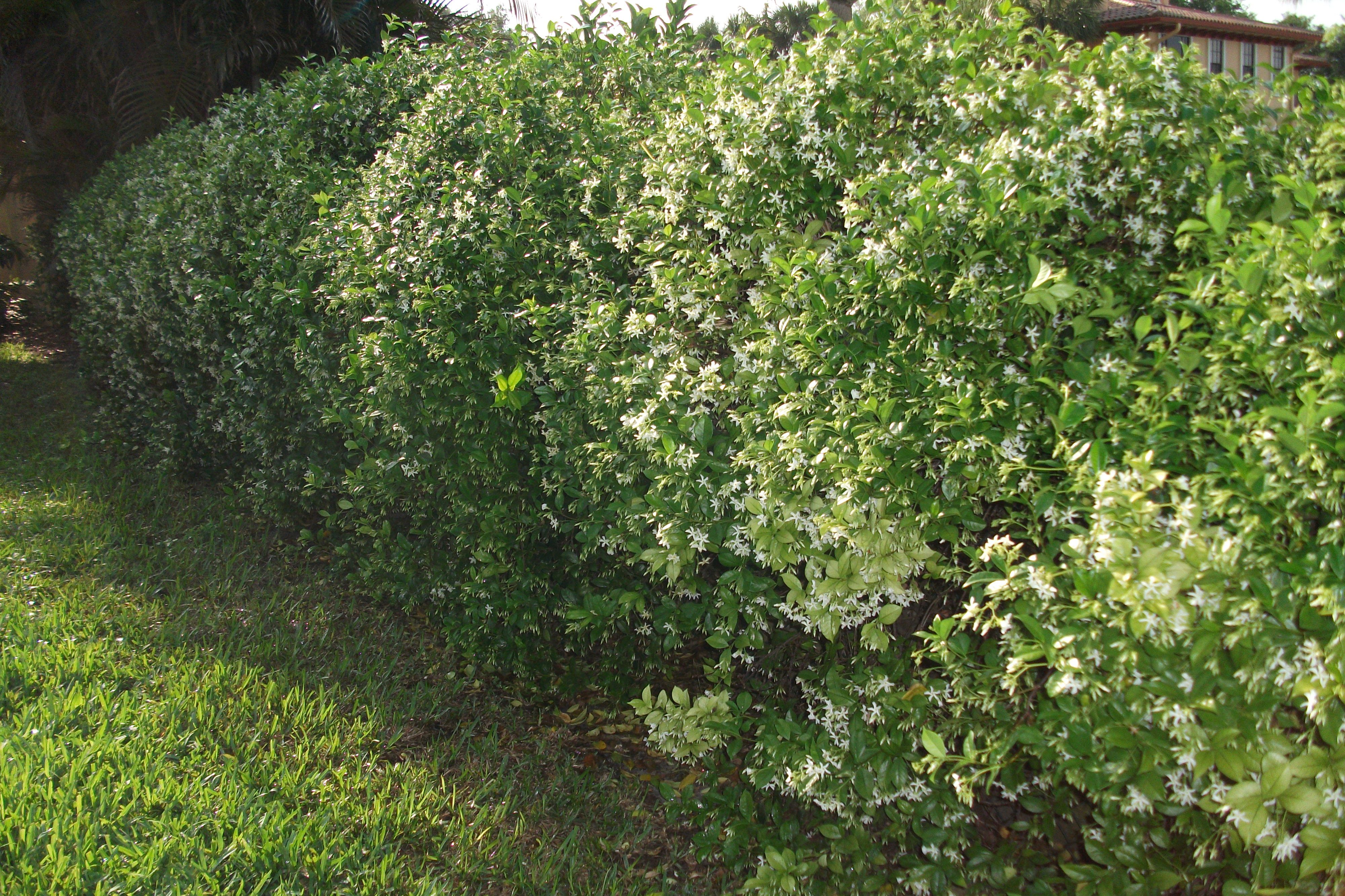 Confederate Jasmine On A Chain Link Fence First Glance