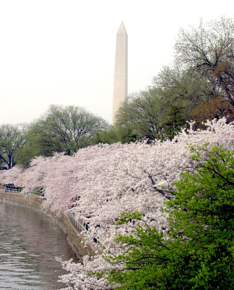 Helpful Information About Seeing The Cherry Blossoms And