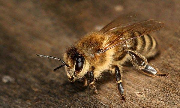 ほぼ養蜂家 が教える驚くべきミツバチの生態 思わず心が痛くなるオス