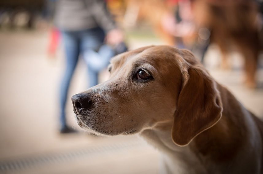 Dog Heart Murmur While Many Dogs Have An Acquired Heart Defect Or