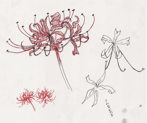 I tried drawing a spider lily in japanese higanbana for How to draw a hard flower
