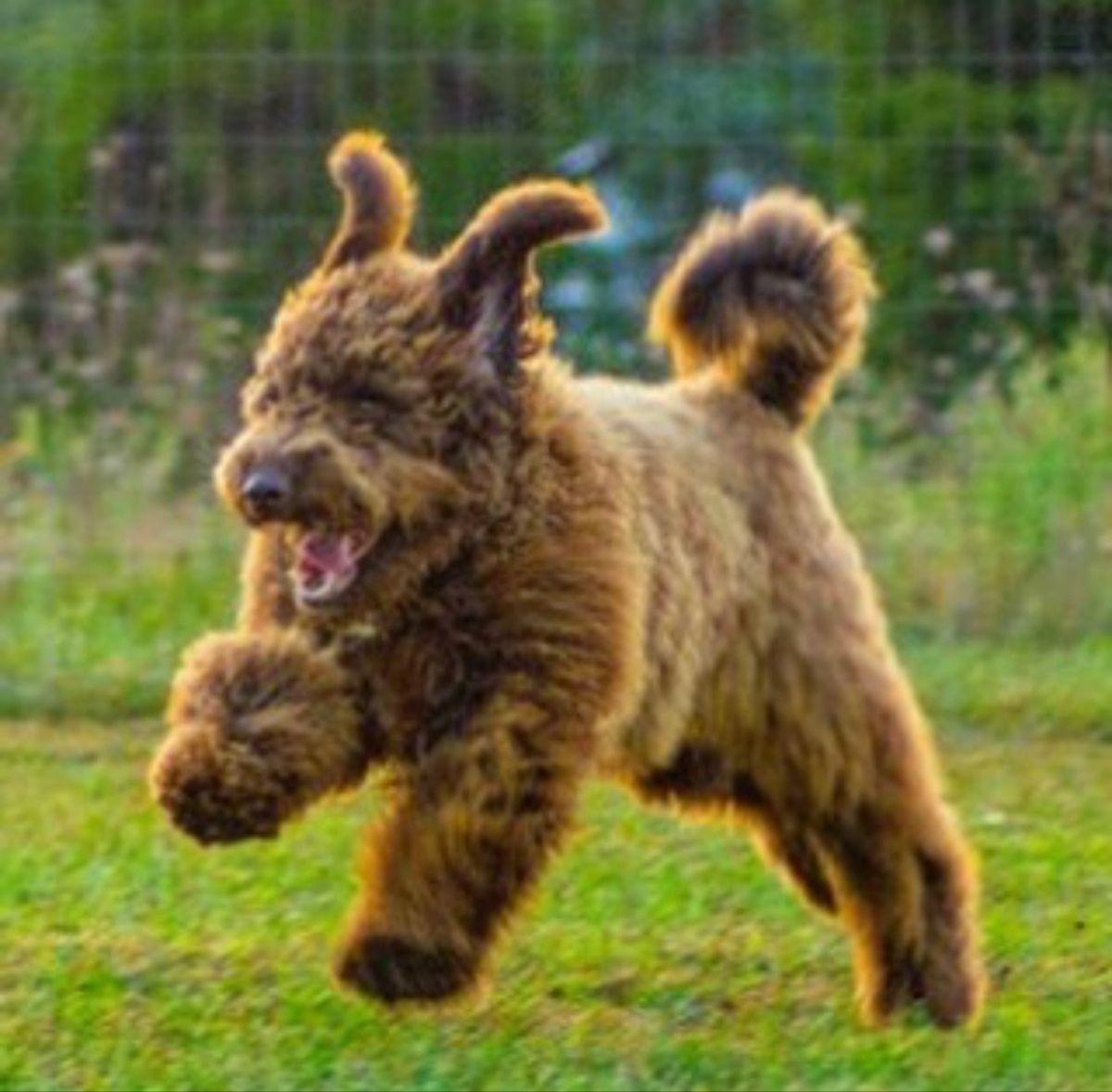 Okefeild Acres Muni Teddybear Goldendoodle in 2020