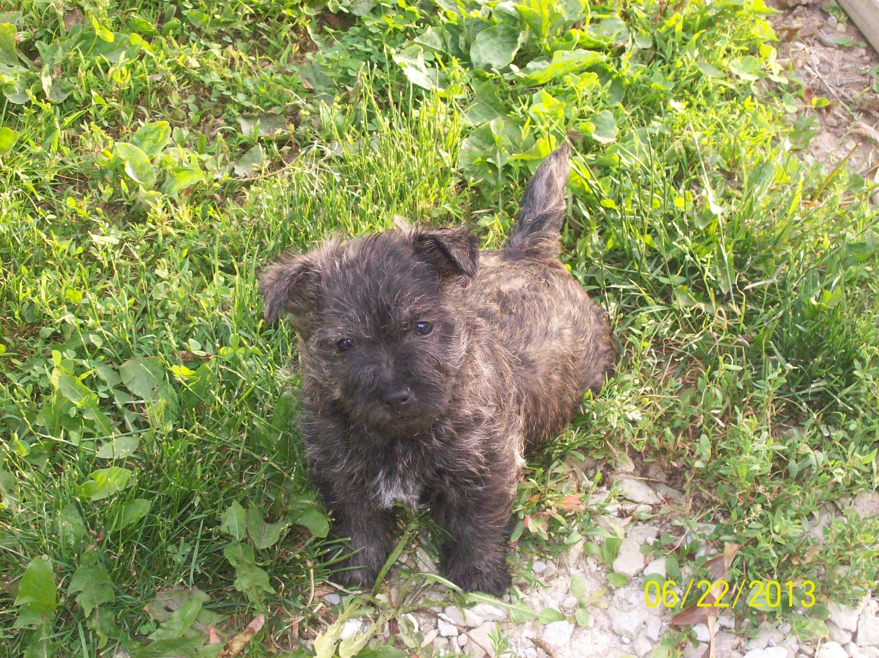 Cairn terrier puppy cairn terrier puppies terrier puppy