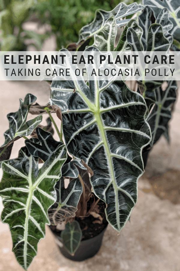 Elephant Ear Plant Care Guide Elephant Ear Plant Plant Care Plants
