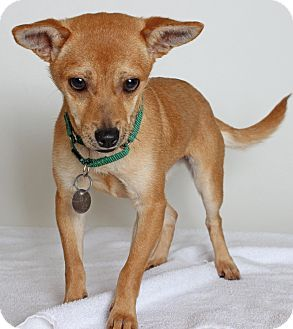 Fox Terrier Chihuahua Mix Pitbull Terrier American Pitbull