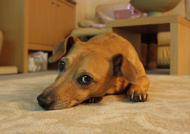 My Dog Dachshund Cross Jack Russell Pitbull Terrier Bull