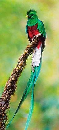 The quetzal, national bird of Guatemala