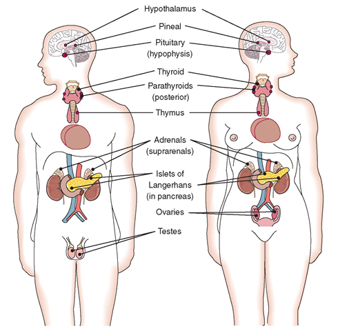 Location of the major endocrine glands in the body. | health | Pinterest