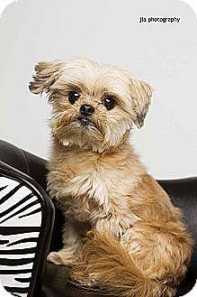 Baton Rouge La Shih Tzuyorkie Yorkshire Terrier Mix Meet Gizmo