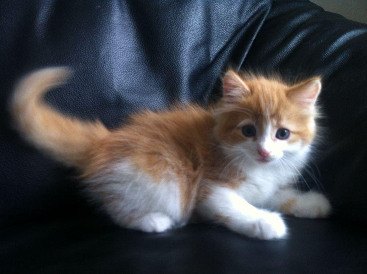 Cute fluffy kitten for sale! Cute fluffy kittens, Fluffy