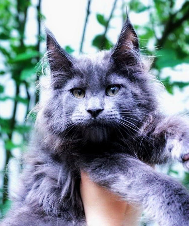 Cfa registered maine coon kittens in hoobly classifieds