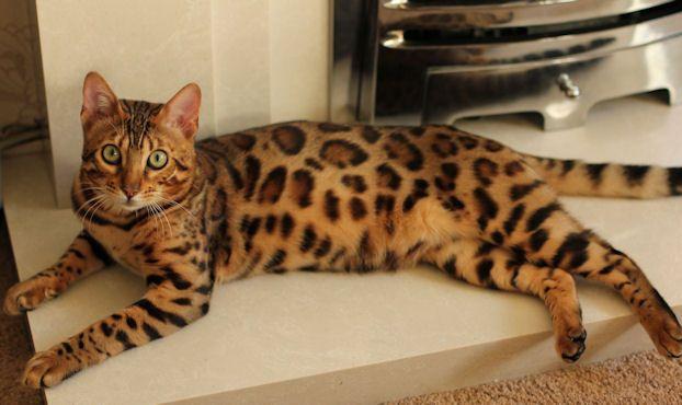 Queenanne Cats Bengal Stud Cat Breeder in Bromsgrove