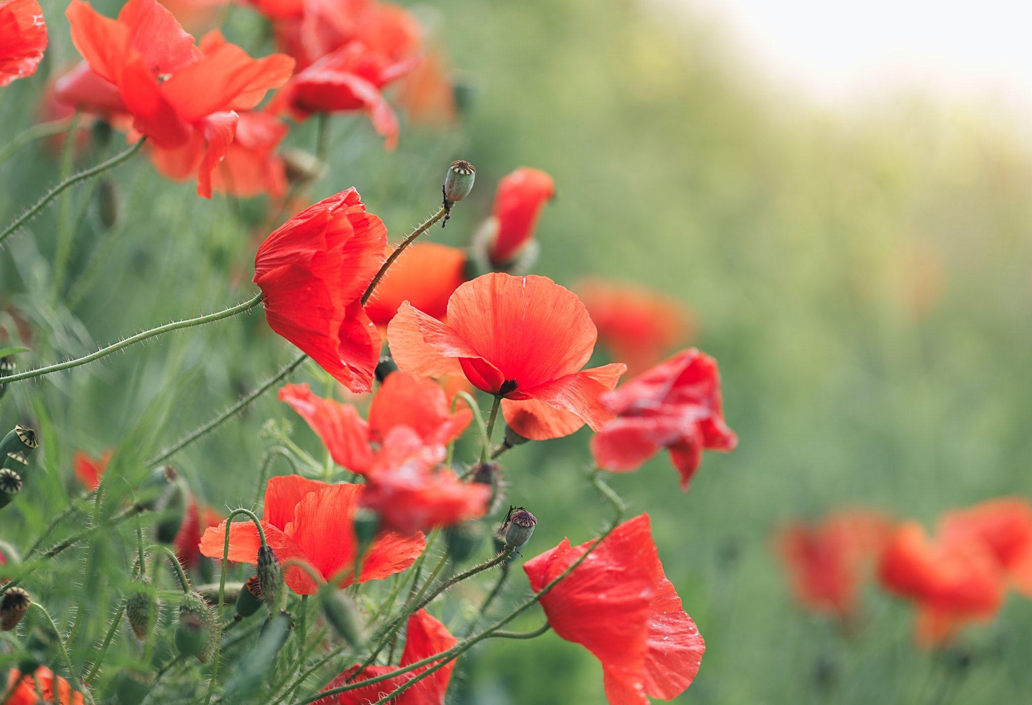 Poppies - The hallmark of summer