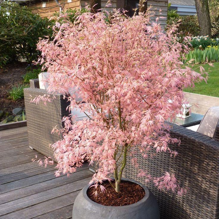 Winter blühende Alpenrose – Gartengestaltung Terasse – Blumen