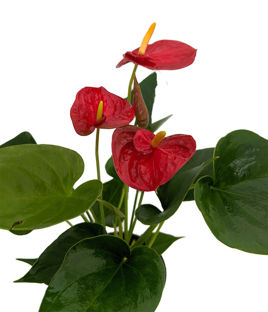 Red Success Anthurium Plant Easy Blooming House Plant 4 Pot Great Gift Walmart Com In 2020 Anthurium Plant House Plants Anthurium