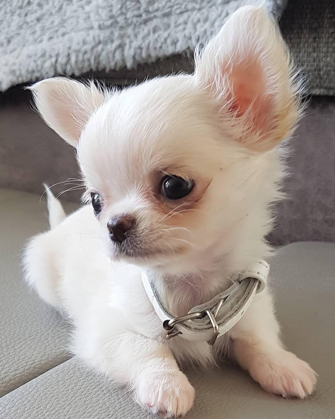 Pin Van Monique Skerka Op Honden Cute Dogs Chihuahua